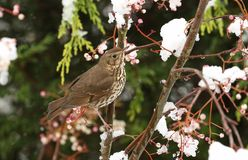 A stunning Song Thrush Turdus philomelos perched on a Mountain Ash Tree in a Snowstorm. It has been feeding on the berries. A Song Thrush Turdus philomelos Stock Image