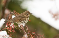 A stunning Song Thrush Turdus philomelos perched on a Mountain Ash Tree in a Snowstorm. It has been feeding on the berries. A Song Thrush Turdus philomelos Royalty Free Stock Images
