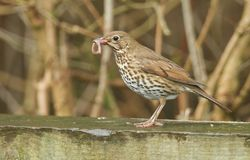 A beautiful Song Thrush Turdus philomelos perched on a wooden fence with a worm in its beak. A Song Thrush Turdus philomelos perched on a wooden fence with a royalty free stock image