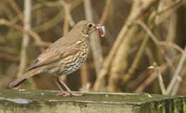 A beautiful Song Thrush Turdus philomelos perched on a wooden fence with a worm in its beak. A Song Thrush Turdus philomelos perched on a wooden fence with a royalty free stock photos
