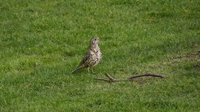 Song Thrush / Turdus philomelos portrait in grassy meadow. Song Thrush / Turdus philomelos bird portrait in a grassy meadow in summer standing by a twig royalty free stock photography