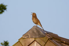 Song Thrush (Turdus philomelos) Royalty Free Stock Photo