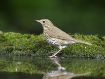 Song thrush, Turdus philomelos. Single bird bathing in water, Hungary, July 2018 stock photos