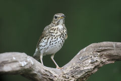 Song thrush, Turdus philomelos. Single bird on branch, Hungary, May 2016 stock photography