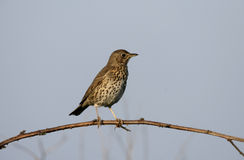 Song thrush, Turdus philomelos. Single bird on branch, Scotland stock images