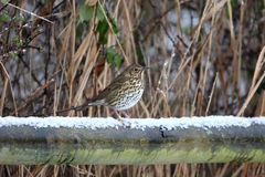 Song thrush, Turdus philomelos. Single bird on fence in snow, Warwickshire, January 2013 royalty free stock images