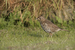 Song thrush, Turdus philomelos. Single bird on grass, Midlands Royalty Free Stock Photos