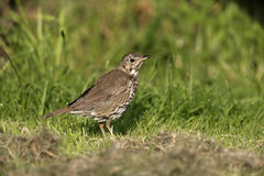 Song thrush, Turdus philomelos. Single bird on grass, Midlands stock photos