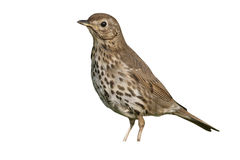 Song thrush, Turdus philomelos. Single bird on grass, Midlands Royalty Free Stock Photography