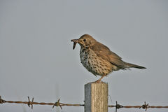 Song thrush, Turdus philomelos. Single bird on post, Midlands royalty free stock photography