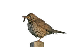 Song thrush, Turdus philomelos. Single bird on post, Midlands royalty free stock images