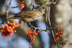 Song thrush, Turdus philomelos. Single bird on rowan berries,  West Midlands, December 2010 Royalty Free Stock Photography