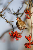 Song thrush, Turdus philomelos. Single bird on rowan berries,  West Midlands, December 2010 Royalty Free Stock Photos