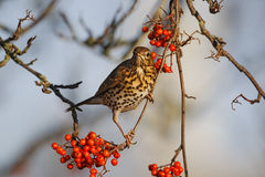 Song thrush, Turdus philomelos. Single bird on rowan berries,  West Midlands, December 2010 Royalty Free Stock Photo