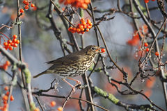 Song thrush, Turdus philomelos. Single bird on rowan berries,  West Midlands, December 2010 Royalty Free Stock Images