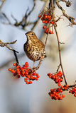 Song thrush, Turdus philomelos. Single bird on rowan berries,  West Midlands, December 2010 Stock Photo