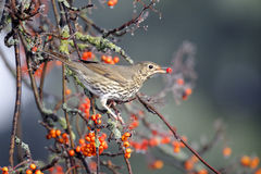 Song thrush, Turdus philomelos. Single bird on rowan berries,  West Midlands, December 2010 Stock Photos