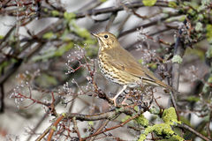 Song thrush, Turdus philomelos Stock Photo