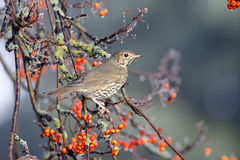 Song thrush, Turdus philomelos. Single bird on rowan berries,  West Midlands, December 2010 Stock Image