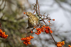 Song thrush, Turdus philomelos. Single bird on rowan berries,  West Midlands, December 2010 Stock Images