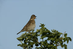 Song thrush, Turdus philomelos. Single bird singing on branch, Scotland royalty free stock image