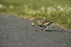 Song thrush, Turdus philomelos. Single bird with snail, Scotland Stock Images