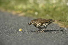 Song thrush, Turdus philomelos. Single bird with snail, Scotland royalty free stock images