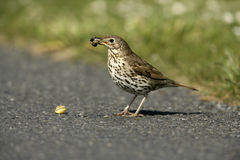 Song thrush, Turdus philomelos. Single bird with snail, Scotland royalty free stock photo