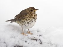Song thrush, Turdus philomelos. Single bird in snow, Warwickshire, March 2018 Royalty Free Stock Photos