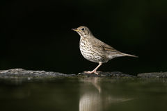Song thrush, Turdus philomelos Stock Photo
