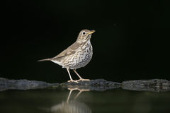 Song thrush, Turdus philomelos. Single bird at water, Hungary stock image