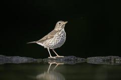 Song thrush, Turdus philomelos Stock Image