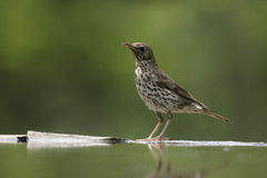 Song thrush, Turdus philomelos. Single bird at water, Hungary Royalty Free Stock Photo