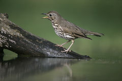 Song thrush, Turdus philomelos. Single bird at water, Hungary Royalty Free Stock Photos