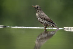 Song thrush, Turdus philomelos. Single bird at water, Hungary royalty free stock image