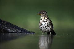 Song thrush, Turdus philomelos. Single bird at water, Hungary Royalty Free Stock Images