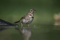 Song thrush, Turdus philomelos. Single bird at water, Hungary Stock Images