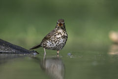 Song thrush, Turdus philomelos. Single bird at water, Hungary Stock Photo