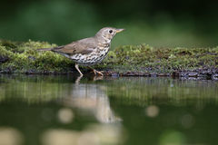 Song thrush, Turdus philomelos. Single bird by water, Hungary, May 2016 Stock Photo