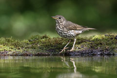 Song thrush, Turdus philomelos. Single bird by water, Hungary, May 2016 Royalty Free Stock Photos