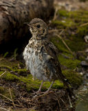 Song thrush (Turdus philomelos). Sits on earth Stock Photography