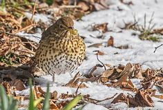 Song Thrush. Turdus philomelos with snail their favourite food Royalty Free Stock Photo