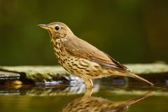 Song Thrush - Turdus philomelos. Inconspicuous song bird from European forests and woodlands Stock Photography