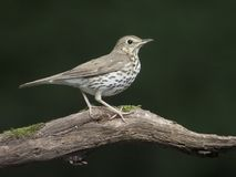 Song thrush, Turdus philomelos. Single bird on branch, Hungary, July 2018 royalty free stock images