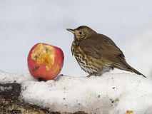 Song thrush, Turdus philomelos. Single bird in snow with red apple, Warwickshire, March 2018 Royalty Free Stock Photos