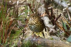 Song thrush Turdus philomelos royalty free stock images