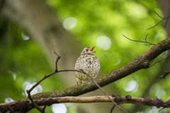 Song Thrush (Turdus philomelos). Spotted outdoors in Dublin stock photo