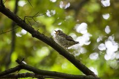 Song Thrush (Turdus philomelos). Spotted outdoors in Dublin stock photography