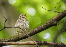 Song Thrush (Turdus philomelos). Spotted outdoors in Dublin Royalty Free Stock Photo