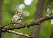 Song Thrush (Turdus philomelos). Spotted outdoors in Dublin royalty free stock photos